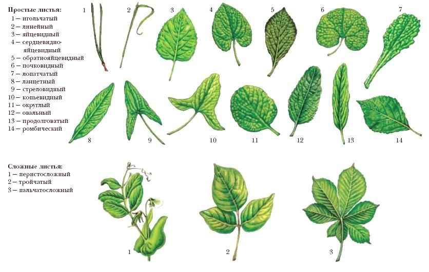http://dic.academic.ru/pictures/dic_biology/l_034.jpg