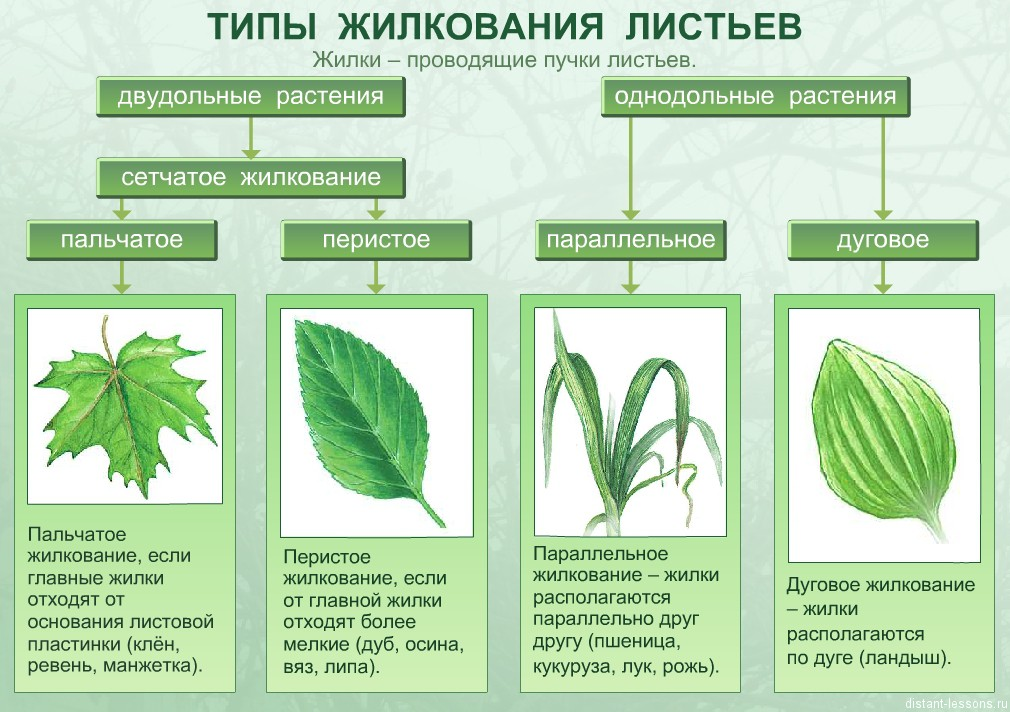 http://distant-lessons.ru/wp-content/uploads/2013/08/jilkovanie-listjev.jpg