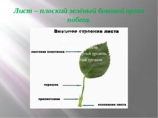 Лист – плоский зелёный боковой орган побега.
