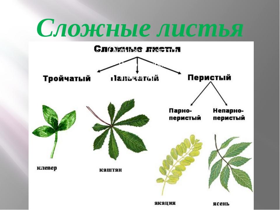 Сложные листья