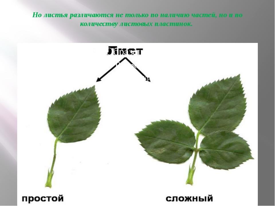 Но листья различаются не только по наличию частей, но и по количеству листовы...