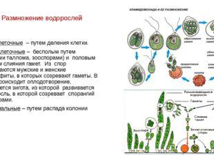 Размножение водорослей Одноклеточные – путем деления клетки. Многоклеточные –