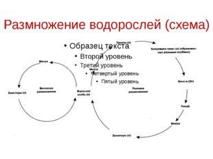 Размножение водорослей (схема)