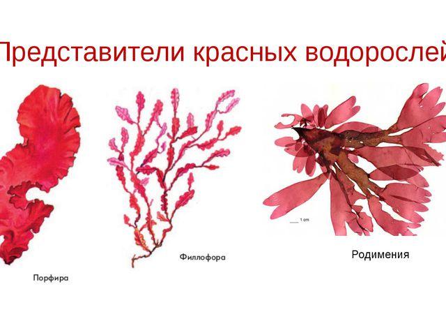 Представители красных водорослей Родимения