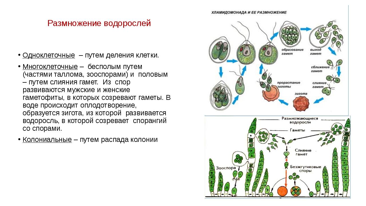 Размножение водорослей Одноклеточные – путем деления клетки. Многоклеточные –...