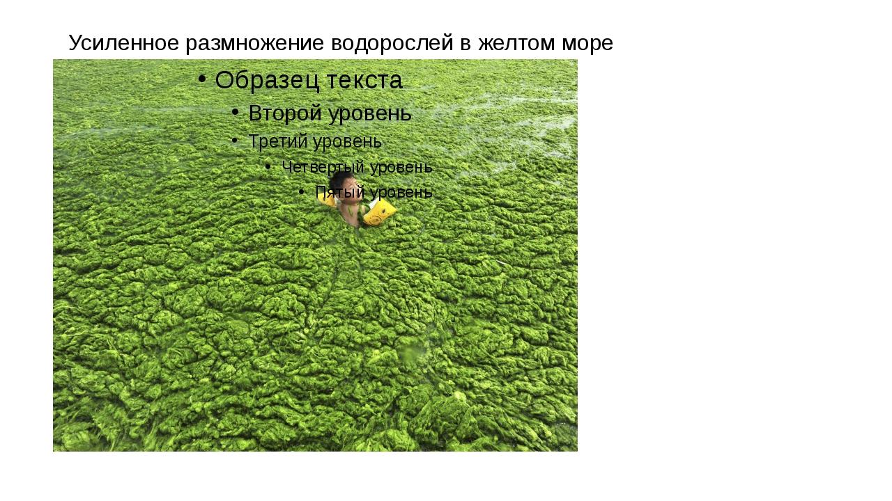 Усиленное размножение водорослей в желтом море