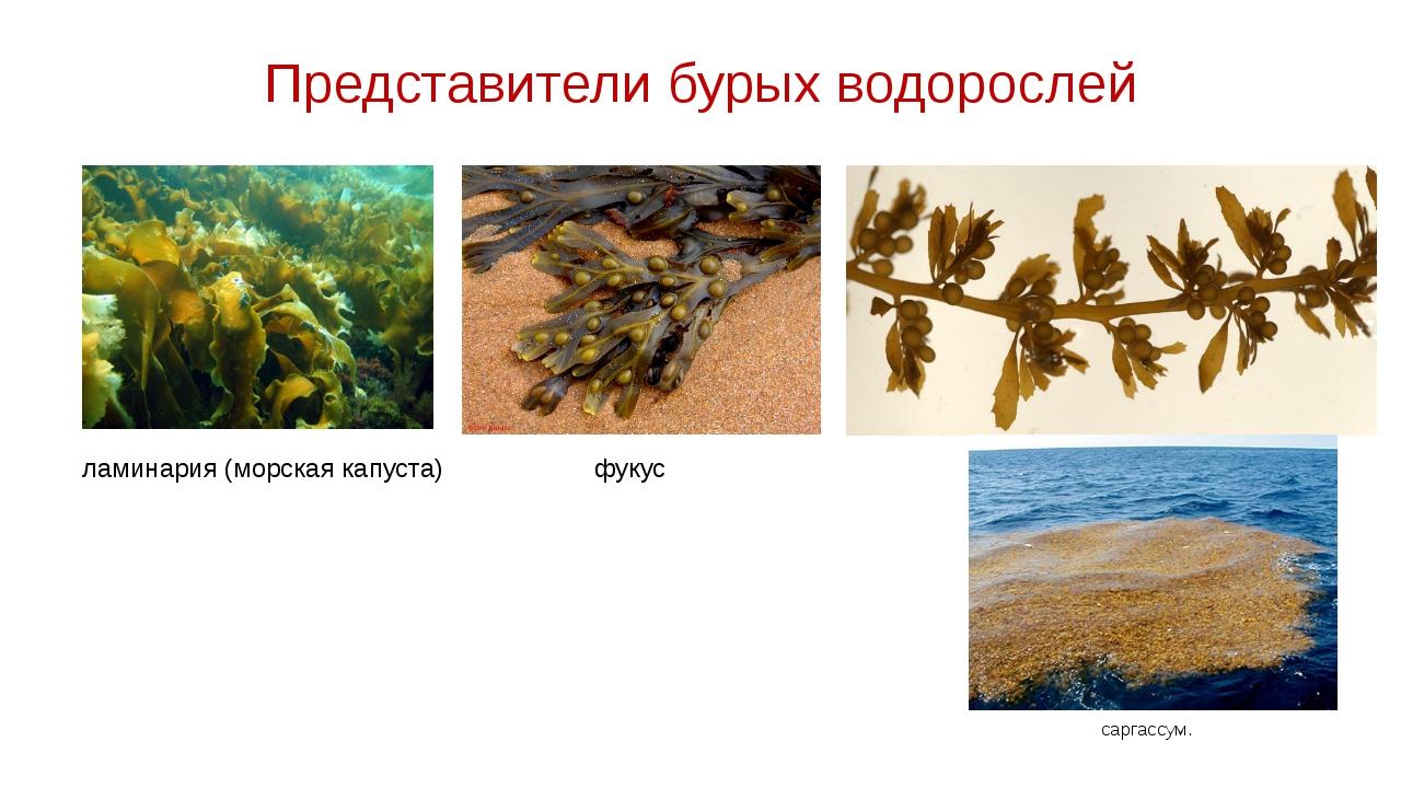 Представители бурых водорослей саргассум. ламинария (морская капуста) фукус