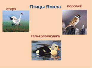 стерх воробей гага-гребенушка Птицы Ямала