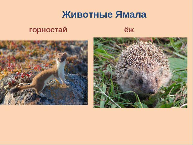 Животные Ямала горностай ёж