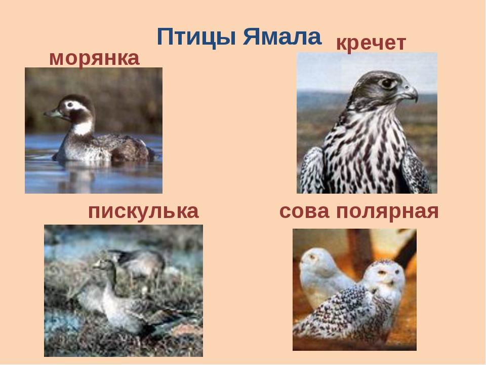Птицы Ямала кречет морянка пискулька сова полярная