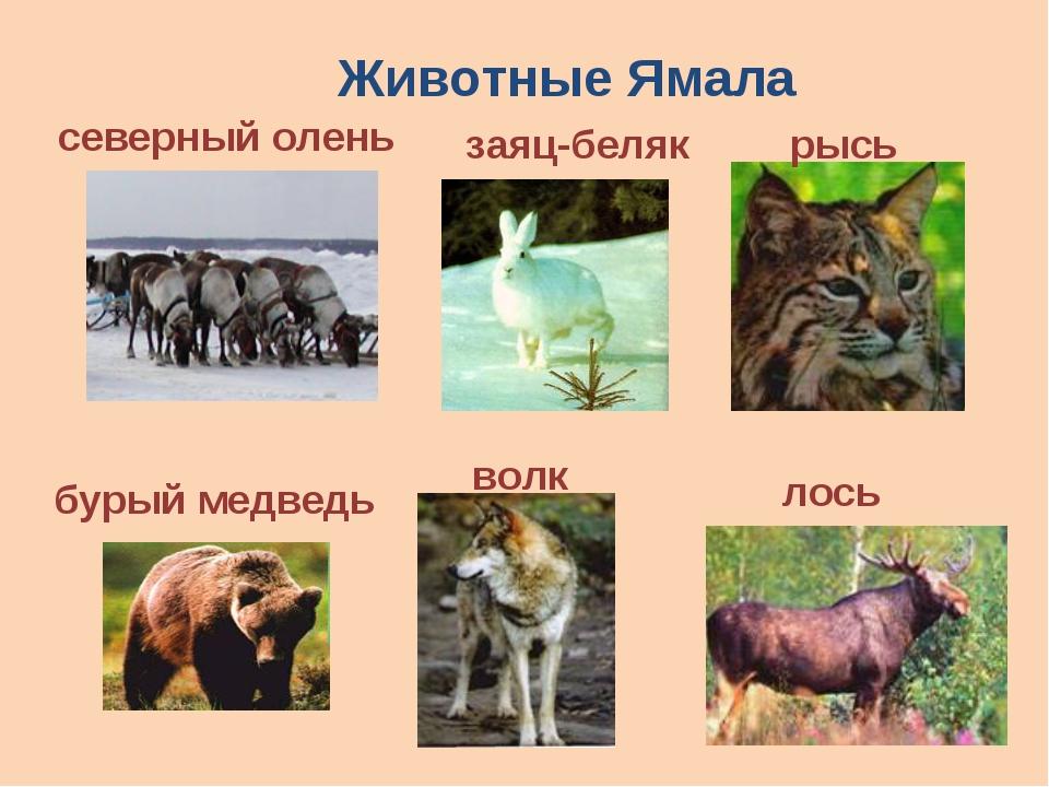 Животные Ямала рысь северный олень заяц-беляк бурый медведь лось волк