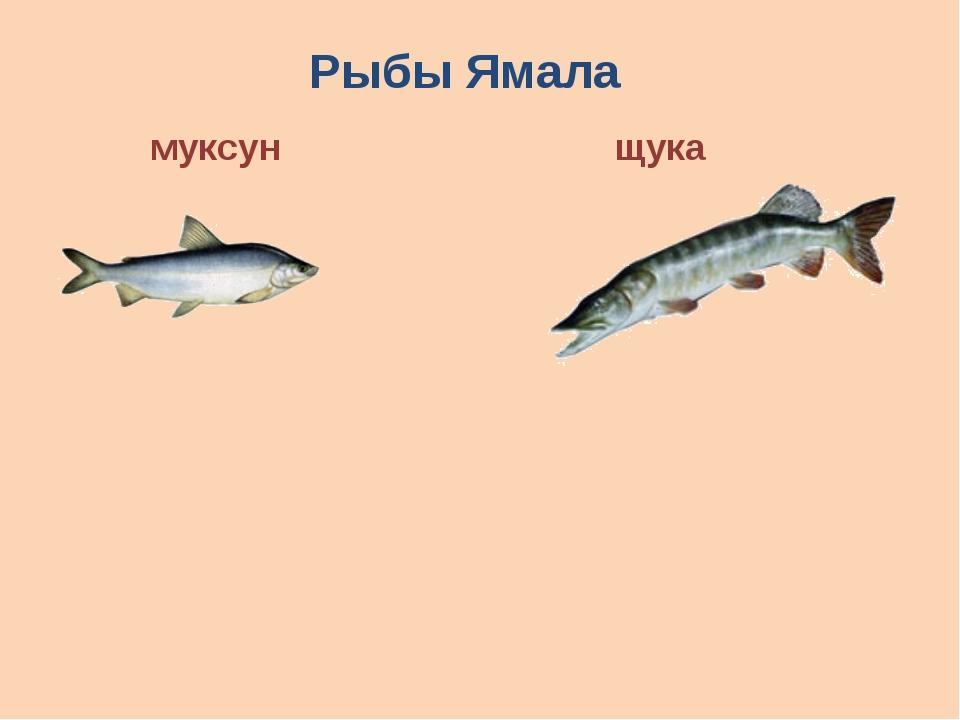 Рыбы Ямала муксун щука