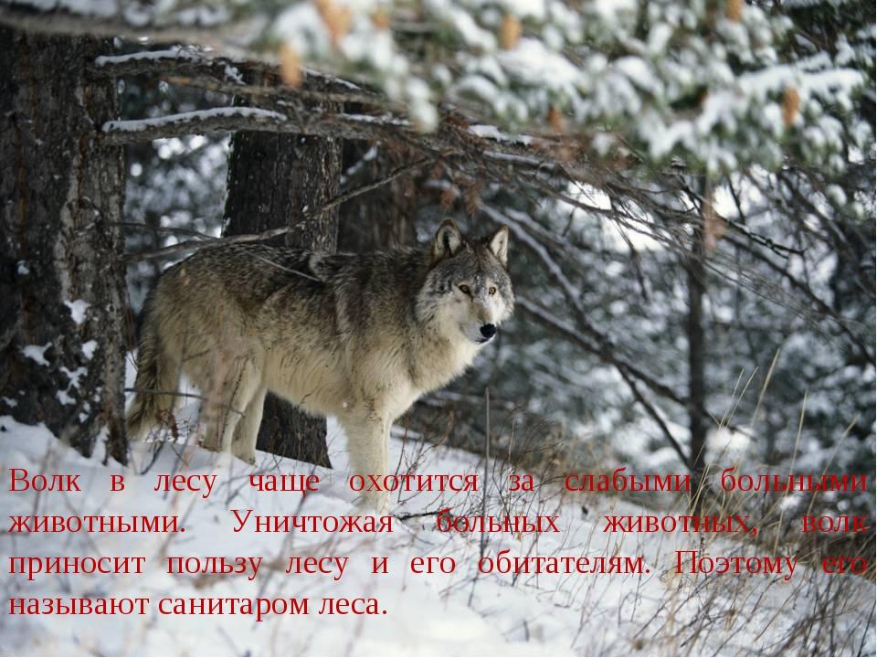 Волк в лесу чаще охотится за слабыми больными животными. Уничтожая больных жи...