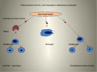 Образование клеток, участвующих в иммунных реакциях Клетки костного мозга Тим
