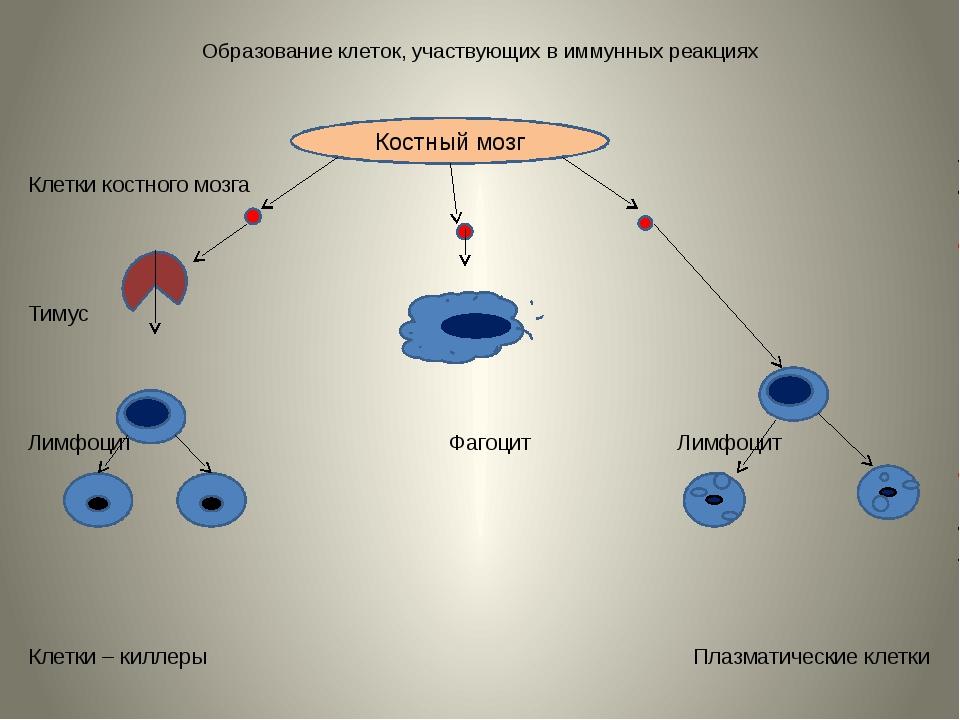 Образование клеток, участвующих в иммунных реакциях Клетки костного мозга Тим...