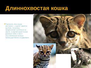 Длиннохвостая кошка Различить этих кошек несложно — оцелот заметно крупнее, п