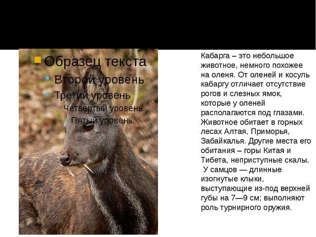 Кабарга – это небольшое животное, немного похожее на оленя. От оленей и косу...