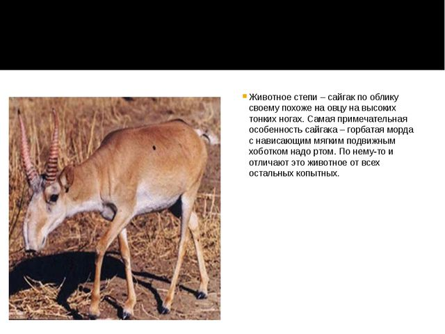 Животное степи – сайгак по облику своему похоже на овцу на высоких тонких но...