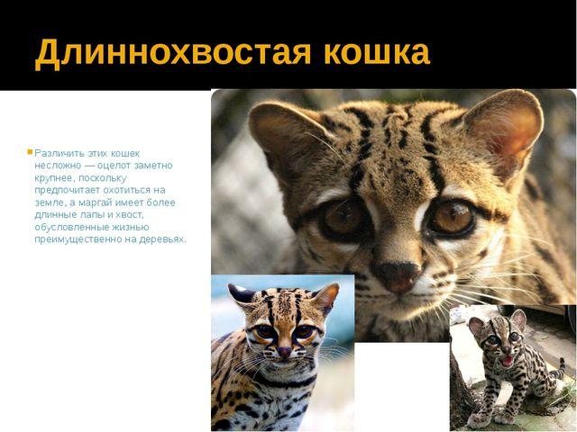 Длиннохвостая кошка Различить этих кошек несложно — оцелот заметно крупнее, п...