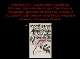 Стреблориза – род растений семейства Бобовые. Единственный вид – Стреблориза
