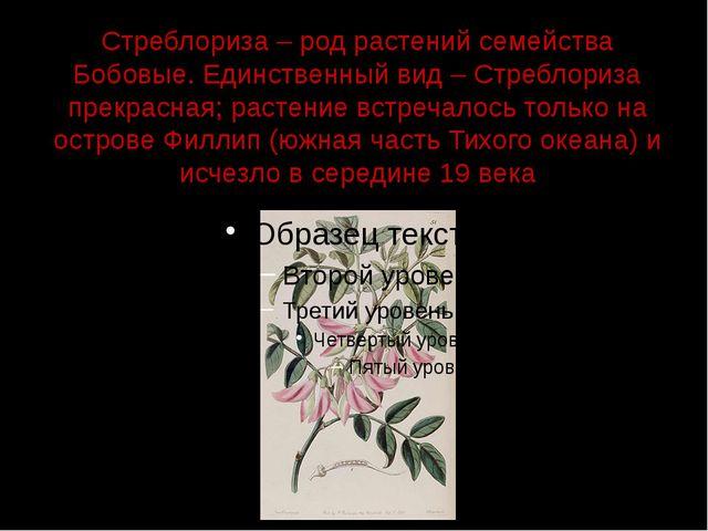 Стреблориза – род растений семейства Бобовые. Единственный вид – Стреблориза...