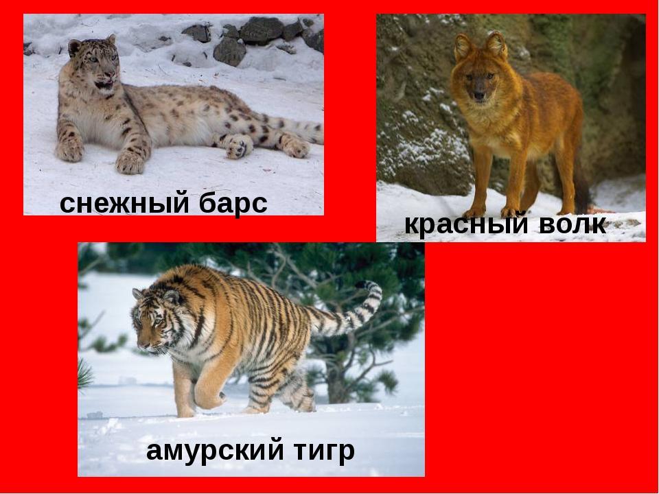 снежный барс красный волк амурский тигр