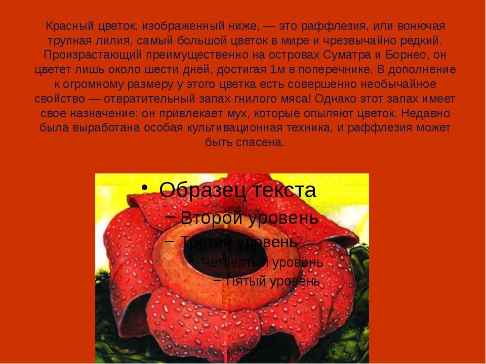 Красный цветок, изображенный ниже, — это раффлезия, или вонючая трупная лилия...