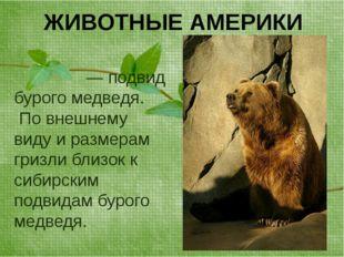 ЖИВОТНЫЕ АМЕРИКИ Гри́зли— подвид бурого медведя. По внешнему виду и размерам