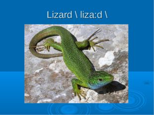 Lizard \ liza:d \