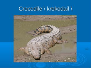 Crocodile \ krokodail \