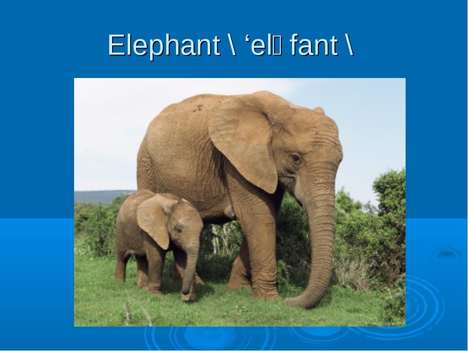 Elephant \ 'elәfant \