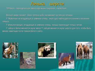 Линька шерсти ЛИНЬКА - периодическая смена наружных покровов у животных. Весн