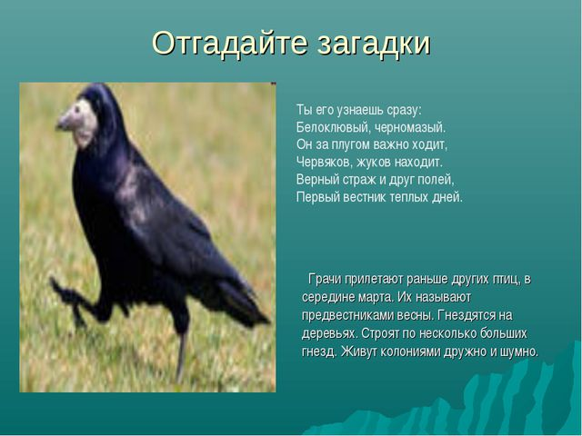Отгадайте загадки Грачи прилетают раньше других птиц, в середине марта. Их на...