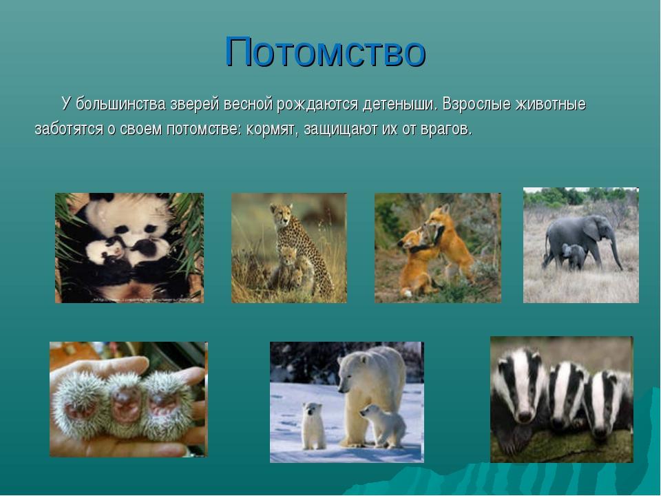 Потомство У большинства зверей весной рождаются детеныши. Взрослые животные з...