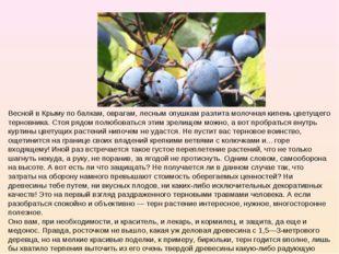 Весной в Крыму по балкам, оврагам, лесным опушкам разлита молочная кипень цве
