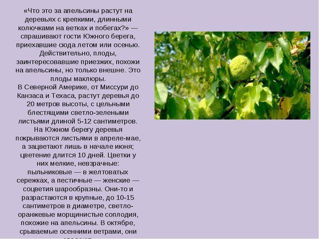 «Что это за апельсины растут на деревьях с крепкими, длинными колючками на ве...