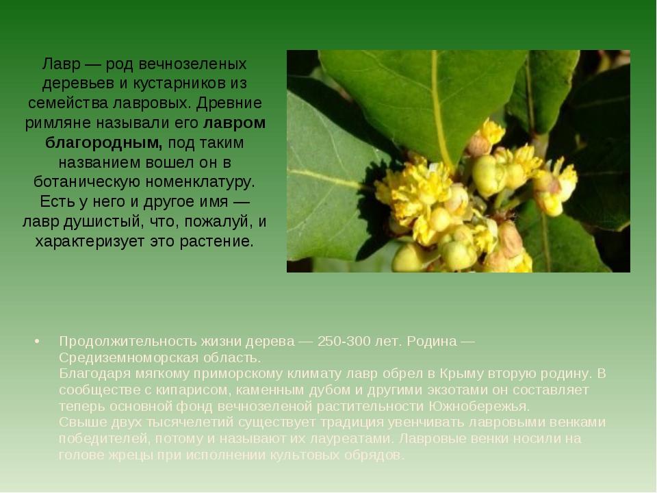 Лавр — род вечнозеленых деревьев и кустарников из семейства лавровых. Древние...