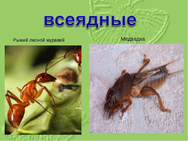 Рыжий лесной муравей Медведка