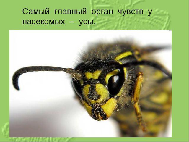 Самый главный орган чувств у насекомых – усы.