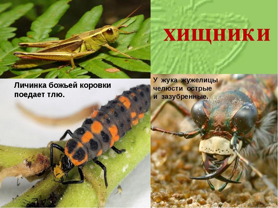 Личинка божьей коровки поедает тлю. У жука жужелицы челюсти острые и зазубрен...