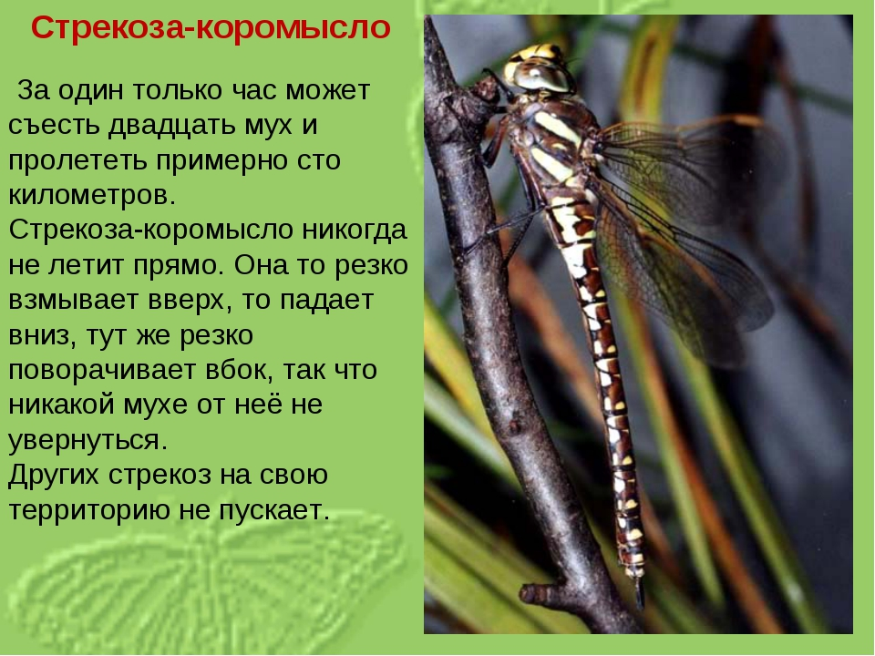 Стрекоза-коромысло За один только час может съесть двадцать мух и пролететь п...