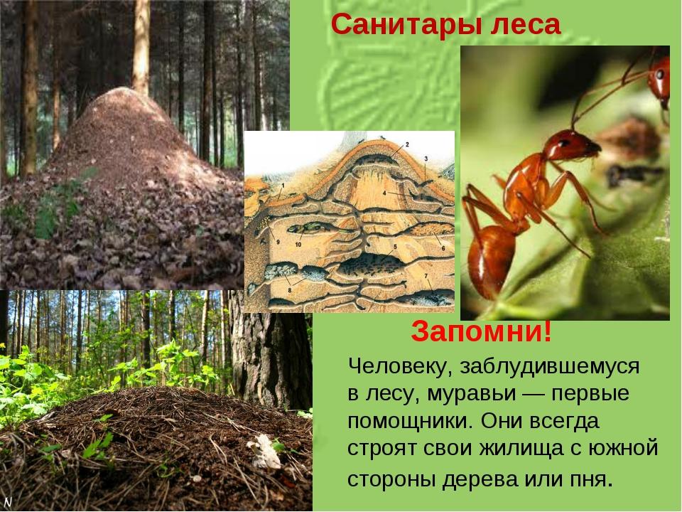 Санитары леса Запомни! Человеку, заблудившемуся влесу, муравьи— первые помо...