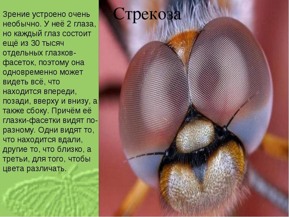 Стрекоза Зрение устроено очень необычно. У неё 2 глаза, но каждый глаз состои...