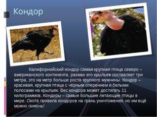 Калифорнийский кондор-самая крупная птица северо – американского континента,