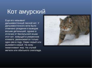 Кот амурский Еще его называют дальневосточный лесной кот. У дальневосточного