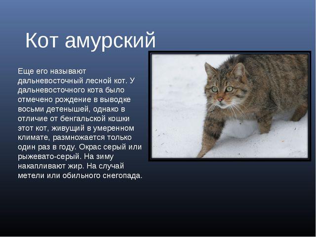 Кот амурский Еще его называют дальневосточный лесной кот. У дальневосточного...