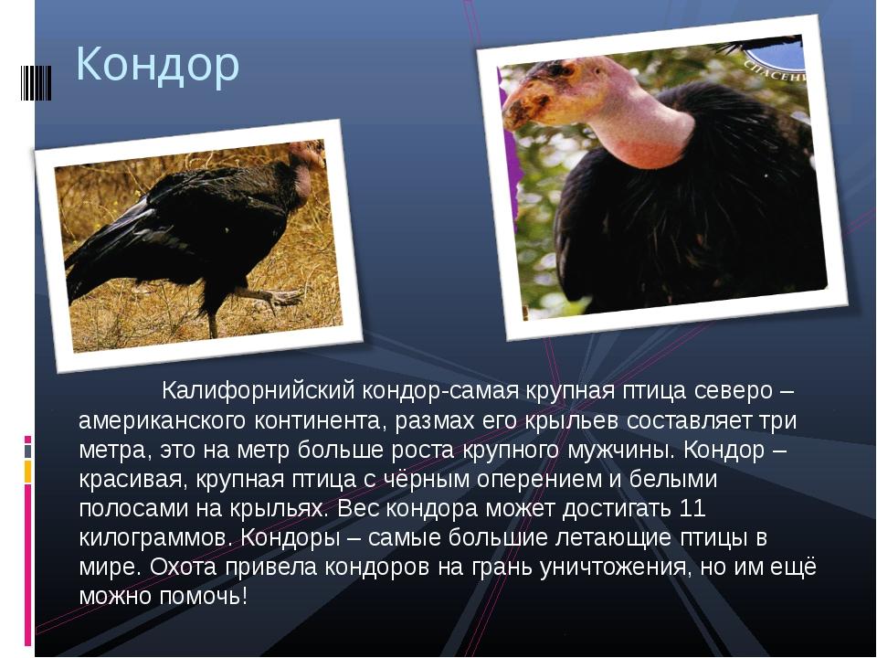 Калифорнийский кондор-самая крупная птица северо – американского континента,...