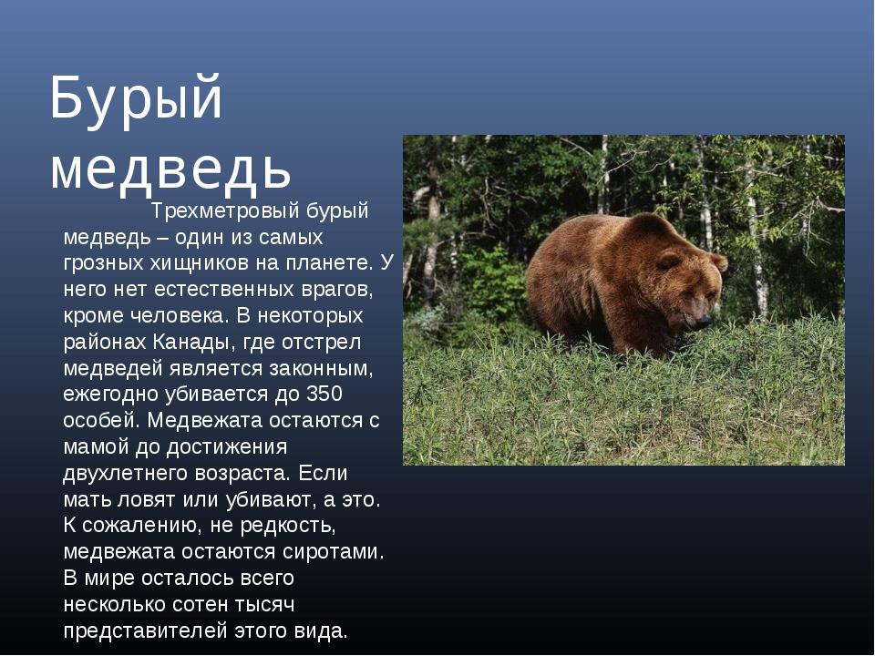 Бурый медведь Трехметровый бурый медведь – один из самых грозных хищников на...