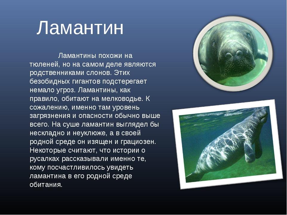 Ламантин Ламантины похожи на тюленей, но на самом деле являются родственника...