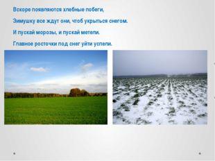 Вскоре появляются хлебные побеги, Зимушку все ждут они, чтоб укрыться снегом